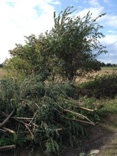 Pierwsze prace polegały na wycięciu krzewów zarastających aleję
